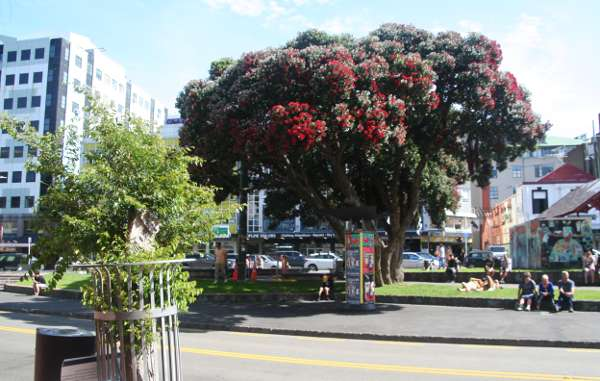 Pohutukawa tree in bright crimson blossom. At Te Aro Park, Manners Street Wellington CBD, opposite the Opera House and Mark Kendall Shoes.